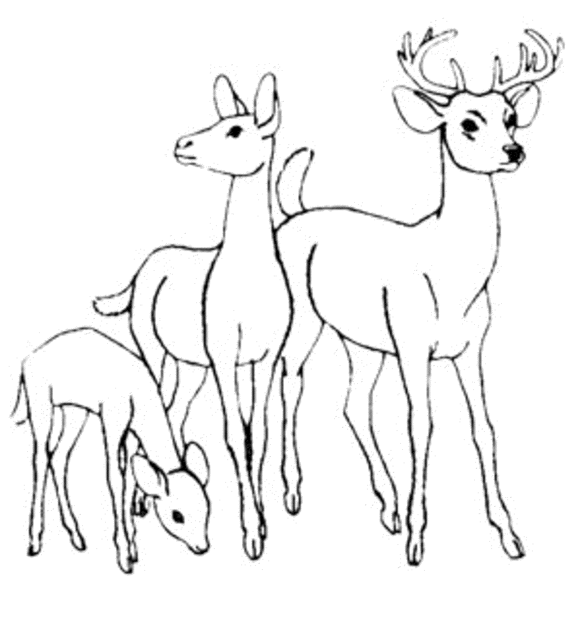 Whitetail Deer Coloring Pages Bestappsforkids Com